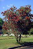 Weeping Bottlebrush Tree 50+ seeds