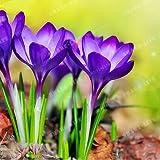 New True Purple Crocus Saffron 2 Bulbs - Crocus sativus