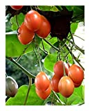 Cyphomandra betacea - tree tomato - tamarillo - 15 seeds