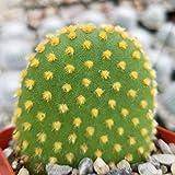 Opuntia microdasys bunny ears Cactus Cacti Succulent Real Live Plant