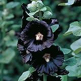 Black Nigra Hollyhock 30 Seeds, 450 mg - Alcea rosea