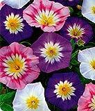 "Organic Flower seeds Bindweed ""Morning-glory"" MIX(Convolvulus tricolor) 50 Seeds"