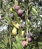 "New Olea Europaea - Manzanillo Olive Tree , Potted Live Plant , Evergreen , 6"" to 8"""