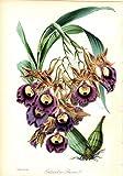 """SOBRALIA MACRANTHA SPLENDENS"" (SPLENDID LARGE-FLOWERED SOBRALIA)--Original Hand-Colored Lithograph from Paxton's Magazine of Botany"