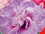 Hibiscus syriacus Chiffon bouquet Terry Flower Seeds from Ukraine