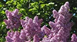 Purple Lilac 25 Seeds - Syringa vulgaris - Shrub/Tree