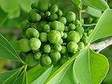 Aegle Marmelos - Bael Fruit / Stone Apple - Rare Tropical Plant Tree Seeds (8)