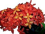 Carmen Dwarf Orange Tropical Miniature Ixora Live Plant Taiwanensis Starter Size 4 Inch Pot Emeralds tm