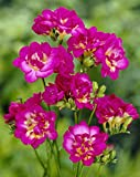 Van Zyverden Freesias - Purple Rain - Set of 25 Bulbs