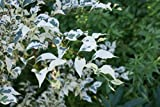 Variegated Japanese Snowbell Tree - Fragrant Flowers 'Frosted Emerald' 1 - Year Live Plant