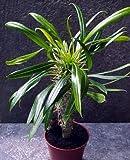 Madagascar Palm 10 Seeds - Pachypodium Lamerei - EXOTIC