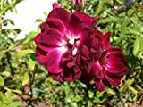 Iceberg Rose Burgundy - 5 or More Years Old - Live Plant