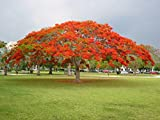 2 Red Royal Poinciana live Tree - Red Delonix Regia live Tree