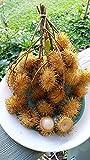 """RARE Yellow Rambutan Nephelium Lappaceum Plant Tree Seedling FROM HAWAII 8-12"""""""