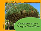 Dracaena draco - Dragon Tree Seeds - 5 Seed Count
