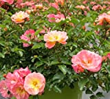 Peach Drift Groundcover Rose - Quart Pot