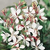 Gaura Seeds (Gaura Lindheimeri) drought hardy blooms that replenish themselves!!(10 - Seeds)