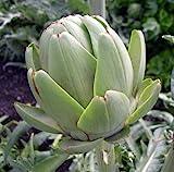 """Green Globe Artichoke - Delicious Perennial Vegetable - Easy to Grow - 4"""" Pot"""