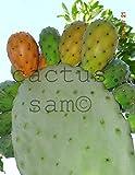 1 Pad, Orange Fruit Opuntia ficus indica, Prickly Pear, Paddle Cactus Tuna Nopal