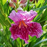 Desert Willow Tree Seeds Fragrant Bi-Colored Orchid Like Blooms - 10 Seeds.