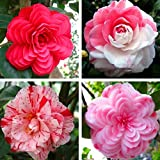 50 pcs / bag, Camellia seeds,Camellia japonica,potted plants, planting seasons, flowering plants