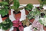 """Terrarium & Fairy Garden Plants -3 Plants in 2.5"""" pots unique-jmbamboo"""