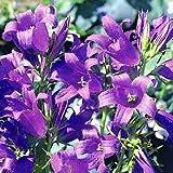 Campanula (Bellflower) latifolia Brantwood 1,000 seeds