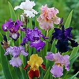 Van Zyverden Iris Germanica Breeder's Choice Mixture Set of 5 Roots