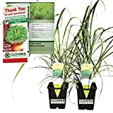 "Clovers Garden 2 Nicely Sized Lemongrass Plants Live - Mosquito Repellent Plants 4""- 7"" Tall in 3.5"" Pots - Non-GMO Edible Medicinal Herb Cymbopogon"