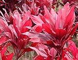 "Red Hawaiian ""Lucky"" Ti Plant Logs"
