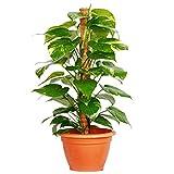 "jmbamboo-Golden Devil's Ivy - Pothos - Epipremnum - 6"" Pot - 24-30'' haight Very Easy to Grow"