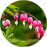 ADB Inc 2 Types Heirloom Red / Blue Lamprocapnos Spectabilis Bleeding-heart Plant Flower Seeds (Red)