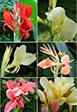 12 Mixed Canna Lily Seeds, Not Plant, Flower, Canna Indica Many Color