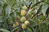 Hall's Hardy Almond Nut Tree Live Healthy 4'-5' Trees Home Grown Almonds Plants