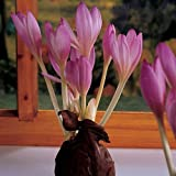 Colchicum The Giant (1 Bulb)