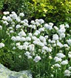 Armeria (Thrift) maritima Armada White 1,000 seeds
