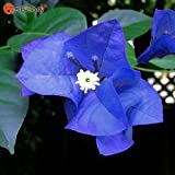 New Real Blooming Rare Blue Plants Bougainvillea Spectabilis Willd Bonsai Plant Seeds 100 Particles / lot