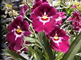 Milt. Bert Field 'Eileen' AM/AOS Attractive-NICE Magnificent! Orchid Plant
