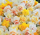 Daffodil, Narcissus Double Mix, (10 Bulbs) Top Size 14/16 cm.Now Shipping !