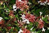ABELIA GRANDIFLORA - GLOSSY ABELIA - Butterfly Bush - FRAGRANT - PLANT