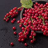 Cherry Red Currant Plant- Ships Fully Rooted in Soil -Hardiest Best Yield