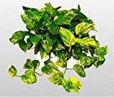 """Golden Devil's Ivy - Pothos - Epipremnum - 6"""" Hanging Pot - Very Easy to Grow unique from Jmbamboo"""