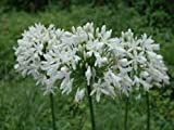 25+ AGAPANTHUS WHITE LILY OF THE NILE FLOWER SEEDS / PERENNIAL