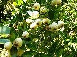 Myrtus communis, White Myrtle Tree 100 Fresh Seeds