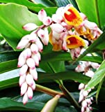 5 Roots (Rhyzomes) of Alpinia Ginger (Shell Flower, Or Alpinia Zerumbet)