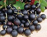 """10"""" - 20"""" - Jostine Plant - Thornless Black Currant and Gooseberry Cross"""