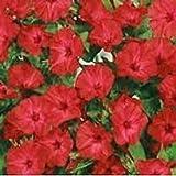 40+ Mirabilis Jalapa Scarlet Red Flower Seeds/ Four O'Clock/ Perennial
