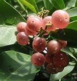 Glycosmis pentaphilla, 1 year old seedling, Orangeberry, Rum Berry