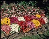 Chrysanthemum (Mum) morifolium Autumn Glory 500 seeds