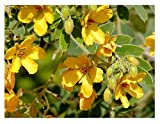 David's Garden Seeds Flower Velvet Leaf Senna Texas Native NS0018 (Yellow) 50 Non-GMO, Open Pollinated Seeds